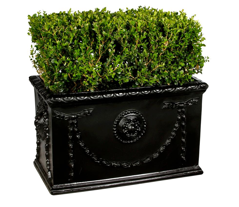 Boxwood Hedge Bright Rentals
